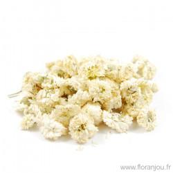 Camomille romaine fleur...